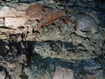 Corteza de árbol vieja y nueva de castaña Fotos de archivo