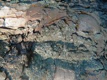 Corteza de árbol vieja y nueva de castaña Fotografía de archivo