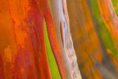 Corteza de árboles de eucalipto del arco iris imagen de archivo libre de regalías