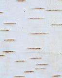 Corteza de abedul Imágenes de archivo libres de regalías
