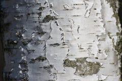 Corteza de abedul blanco Fotografía de archivo libre de regalías