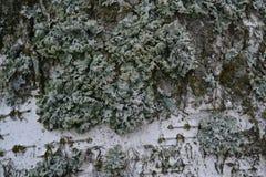 Corteza de abedul blanco cubierta con el musgo y el liquen verdes en último otoño Foto de archivo
