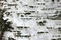 Corteza de abedul blanco, fondo natural de la textura del primer Imagen de archivo libre de regalías