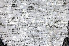 Corteza de abedul blanco, fondo natural de la textura del primer Fotografía de archivo