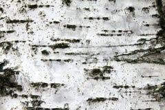 Corteza de abedul blanco, fondo natural de la textura del primer Fotos de archivo