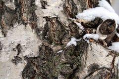 Corteza de abedul con el MUSGO en bosque Fotografía de archivo libre de regalías