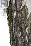Corteza de abedul con el primer de la nieve y del musgo Fotografía de archivo libre de regalías