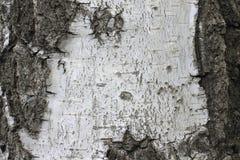 Corteza de abedul con la textura hermosa para el fondo blanco y negro Foto de archivo
