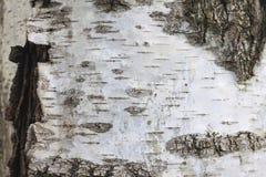 Corteza de abedul con la textura hermosa para el fondo blanco y negro Foto de archivo libre de regalías