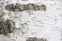 Corteza de abedul con la textura hermosa para el fondo blanco y negro Imagen de archivo