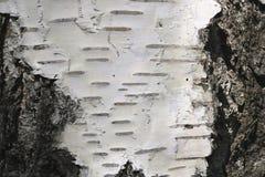 Corteza de abedul con textura hermosa Imagen de archivo libre de regalías