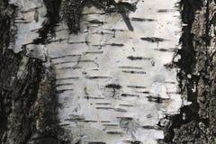 Corteza de abedul con textura hermosa Imagen de archivo