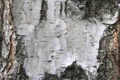 Corteza de abedul con textura hermosa Foto de archivo libre de regalías