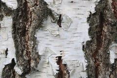 Corteza de abedul con textura hermosa Fotografía de archivo libre de regalías