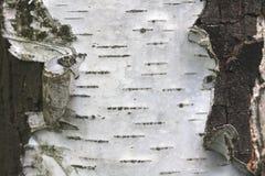 Corteza de abedul con textura hermosa Fotografía de archivo