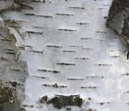 Corteza de abedul con textura hermosa Imagenes de archivo
