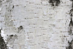 Corteza de abedul con textura hermosa Foto de archivo