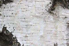 Corteza de abedul con textura hermosa Imágenes de archivo libres de regalías