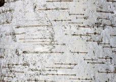 Corteza de abedul con textura natural del abedul Fotos de archivo libres de regalías