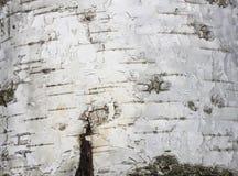 Corteza de abedul con textura natural del abedul Fotos de archivo