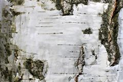 Corteza de abedul con textura natural del abedul Imagen de archivo libre de regalías