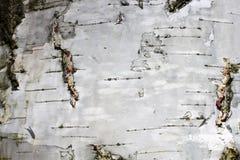 Corteza de abedul con textura natural del abedul Imágenes de archivo libres de regalías