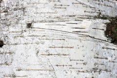 Corteza de abedul con textura natural del abedul Foto de archivo libre de regalías