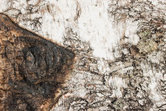 Corteza de abedul con textura o fondo del rastro de la quemadura Fotografía de archivo