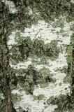 Corteza de abedul con un liquen Imagen de archivo
