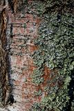 Corteza de abedul cubierta con el musgo foto de archivo