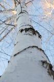 Corteza de abedul de madera Foto de archivo