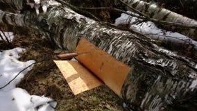 Corteza de abedul del corte de un árbol de abedul Foto de archivo