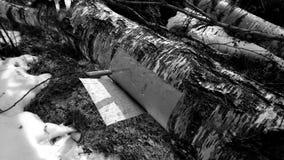Corteza de abedul del corte de un árbol de abedul Imágenes de archivo libres de regalías