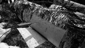 Corteza de abedul del corte de un árbol de abedul Fotografía de archivo