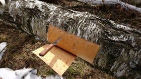 Corteza de abedul del corte de un árbol de abedul Imagenes de archivo