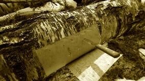 Corteza de abedul del corte de un árbol de abedul Fotos de archivo