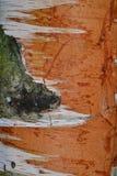 corteza de abedul del tronco de árbol de la textura del fondo Foto de archivo libre de regalías