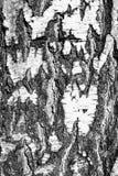 corteza de abedul del tronco de árbol de la textura del fondo Imágenes de archivo libres de regalías