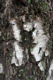 Corteza de abedul desigual con el musgo y el liquen Imagen de archivo libre de regalías