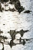 Corteza de abedul en el fondo Imágenes de archivo libres de regalías