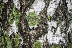 Corteza de abedul en musgo como fondo Imagenes de archivo