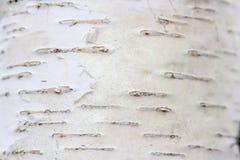 Corteza de abedul en un primer del tronco de árbol Foto de archivo libre de regalías
