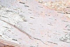 Corteza de abedul (papyrifera de la betula) Imágenes de archivo libres de regalías