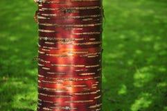 Corteza de abedul rojo contra hierba verde Imagenes de archivo