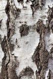 Corteza de abedul, textura abstracta Imagen de archivo