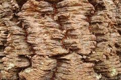 Corteza de la araucaria de Araucana Foto de archivo libre de regalías