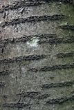 Corteza de la cereza Fotos de archivo