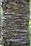 Corteza de la cereza salvaje (avium del Prunus) imagen de archivo libre de regalías