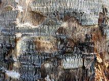 Corteza de la palma pelada de textura Fotos de archivo libres de regalías
