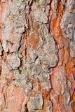 Corteza de la textura del árbol de pino Fotos de archivo libres de regalías